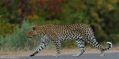 In a hurry (leendert3) Tags: leonmolenaar southafrica krugernationalpark wildlife nature mammal africanleopard ngc npc coth5