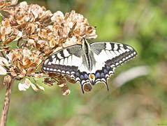 Swallowtail butterfly (timz501) Tags: swallowtailbutterfly butterfly jersey papiliomachaongorganus