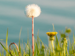 Dandelion (✦ Erdinc Ulas Photography ✦) Tags: lenstagger dandelion plant flower smooth background nature green white sky blue minolta rokkor focus macro macromonday paardebloem netherlands holland dutch nederland detail grass