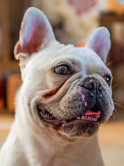 Our New house guest - Albi the French Bulldog (Fujifilm X100F Trans-X Fixed Lens Compact) (1 of 1) (markdbaynham) Tags: fuji fujifilm fujiuk dog canine pet cute bulldog frenchbulldog fujista fujix transx apsc fixedlens fujinon prime primelens x100f fujix100f compact albi