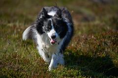 19-july-kotlugengi-patterson_024 (Stefán H. Kristinsson) Tags: dogs hundar hundur playing reykjanes july júlí 2018 nikond800 nikon70200f4 sunny summer