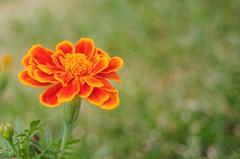 Shades of Orange (*Deep*) Tags: pentax fa28 oldlens closeup nature flower bokeh beauty natural bloom kp