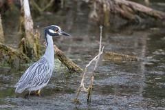 Night heron (madsenusarmy) Tags: nature outdoors 500mm canon summer waterfowl water wildlife nightheron heron birds bird