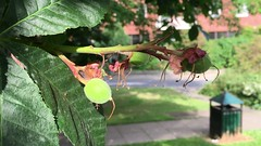Red Horse Chestnut (Aesculus x carnea) - young fruit - June 2018 (Exeter Trees UK) Tags: red horse chestnut aesculus x carnea young fruit june 2018