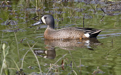 Blue-winged Teal [drake]