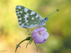 En su rosa. (Jesus Tejon) Tags: mariposa rosa boked macro macrofografia olympus desenfoque naturaleza nature flor flora d