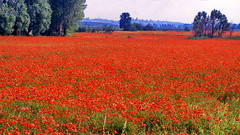 Poppy field in Italy (gerard eder) Tags: world travel reise viajes europa europe italy italia italien trentino garda rivadelgarda riva italianord poppy poppyfield flowers flores blumen flora countryside landscape landschaft paisajes panorama outdoor
