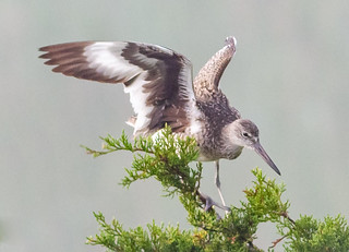 Willet in a tree