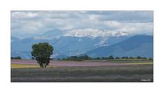 Hochebene von Valensole - Felder im Juni (Babaou) Tags: frankreich france provencealpescôtedazur provence plateaudevalensole lavendel lavande kornfeld alpen lalonde2018 dxopl