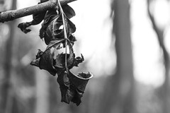 Hang on in there... (Anxious Silence) Tags: norburypark surrey uk autumn walking outdoors blackandwhite nature cow leaf silhouette
