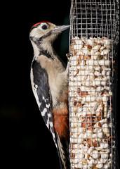 Great Spotted Woodpecker ( Dendrocopos major ) (DaveGray) Tags: canoneos70d garden outside outdoor bird birds greatspottedwoodpecker dendrocoposmajor nuts feeder