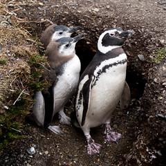 Magellanic penguin family, Ushuaia, Argentina (pas le matin) Tags: travel voyage animal bird oiseau penguin manchot magellanicpenguin manchotdemagellan nest nid terrier burrow argentine argentina southamerica terredefeu tierradelfuego patagonie patagonia canon 5dmkiii canon5dmkiii canon5d 5d eos5dmkiii canoneos5dmkiii