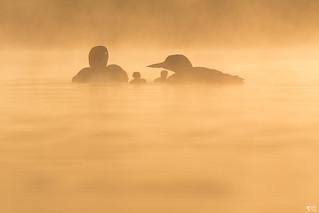 ''Famillia!'' Plongeon huard-Common loon