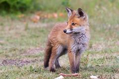 Fox Cub (cogs2011) Tags: fox cub cute ban hunting thursley
