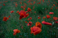 red flackes field (simone.pelatti) Tags: poppins red green field countryside nature wind poppies