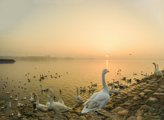 . (Rambonp:loves all creatures of this universe.) Tags: sukhnalake chandigarh birds goose sunrise sun sunrays blue red yellow green water reflectiontrees sky clouds nature landscape wallpaper paradise silhouette mountains morning india atthecrackofdawn canoeing sportsman sports rowing