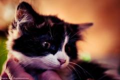 _DSC3711 (Pascal Rey Photographies) Tags: cat chat gatto gato katze animaux animals animalerie animales animali tiere pascalreyphotographies pascalrey luminar2018 nikon d700 photographiecontemporaine photos photographie photography photograffik photographienumérique