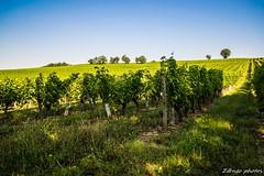 Montesquieu-10_GF (zango-photos) Tags: lotetgaronne randonnée montesquieu ballade paysage campagne 47 été nature vignes