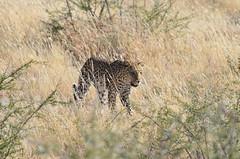 DSC_2541 (Andrew Nakamura) Tags: etosha namibia etoshanationalpark projectdragonfly earthexpeditions mammal bigcat felid leopard africanleopard animal wildlife