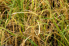 Organic Paddy - Ready For Harvest (Balaji Photography - 5 .5 Million+ views -) Tags: paddy rice agri agriculture farning village ruraleconomy
