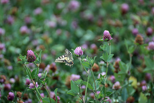 Old World swallowtail / Schwalbenschwanz