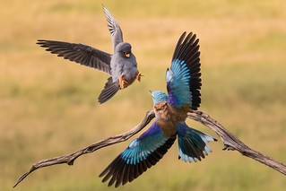 Red-footed Falcon and Roller II