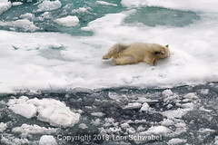 Playtime (pdxsafariguy) Tags: wildlife svalbard arctic animal snow predator ice nature cold polar north bear water spitsbergen white sea floe fur ocean polarbear climate iceberg environment female driftice storfjorden ursusmaritimus paws rolling play playing