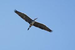 A7303909_DxO (jackez2010) Tags: ilce7m3 fe100400mmf4556gmoss bif birdinflight héroncendré