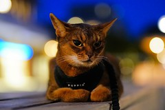 On the square (time to leave) (DizzieMizzieLizzie) Tags: evening dark heat hot square night summer 50mm abyssinian aby lizzie dizziemizzielizzie portrait cat feline gato gatto katt katze kot meow pisica sony neko gatos chat a6500 fe ilce6500 ilce 2018 bokeh pet animal dof sigma f14 dg hsm art 018
