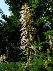 Aesculus parviflora Walter 1788 (SAPINDACEAE) (helicongus) Tags: aesculusparviflora aesculus sapindaceae jardínbotánicodeiturraran spain