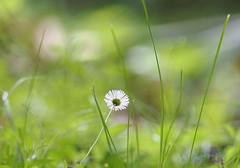 Little Daisy ... (MargoLuc) Tags: daisy white flower green blue bokeh grass summer sunlight meadow backlight petals delicate