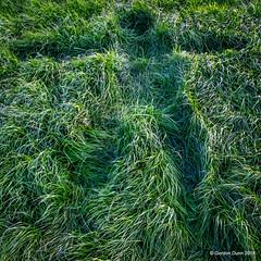 IMG_1888e (ppg_pelgis) Tags: omagh northern ireland tyrone uk grass dairy farm field snowangel grassangel ulster funny