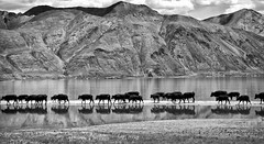 Crossing the lake (bag_lady) Tags: goinghome cows crossingthelake pangonglake ladakh india spangmik blackwhite himalayas