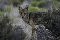 Coyote (Sean Stubben) Tags: coyote predator animals nature wildlife photography outdoors nevada eyes beautiful