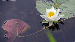 wellfield gardens 2 (scott1346) Tags: fleur lily pond beauty colors white yellow green garden vacation 1001nights 1001nightsmagiccity 1001nightsmagicgarden autofocus canont3i thegalaxy