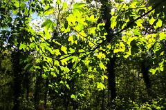 2018-05-11 (Giåm) Tags: hardelot hardelotplage neufchâtelhardelot ecault forêtdomaniale forêtdécault forêtdomanialedécault côtedopale pasdecalais nordpasdecalais hautsdefrance france frankrike frankreich frankrig giåm guillaumebavière
