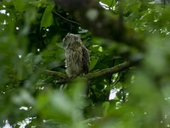 P6280027 (turbok) Tags: tiere vögel waldohreuleasiootus wildtiere c kurt krimberger