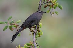 Clarke_180621_2041.jpg (www.raincoastphoto.com) Tags: birds graycatbird mimids dumetellacarolinensis birdsofcanada birdsofnorthamerica birdsofbritishcolumbia