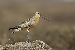 Bar-tailed Godwit - Nome, Alaska