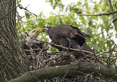 A bald eagle feeding one of her chicks (WhiteEye2) Tags: baldeagle nest wildlife nature freedom nationalbird unitedstates birds ct connecticut