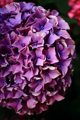 Pétaradants hortensias (Tonton Gilles) Tags: alençon normandie hortensia ombres violet rouge noir église saintpierre de montsort fleurs proxiphotograhie