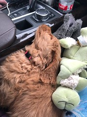 Sabrina's Izzy on her way to new her new home!