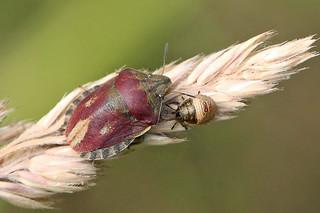 Tortoise Shieldbug (Eurygaster testudinaria).