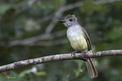 Brown-crested Flycatcher (fernaabs) Tags: browncrested flycatcher myiarchus tyrannulus copetón crestipardo passeriformes tyrannidae fernaabs burgalin avesdecostarica