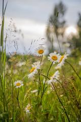 Niittykukkia (Markus Heinonen Photography) Tags: niitty äng meadow suomi finland viljakkala kukka flower kasvi plant blomma maaseutu countryside luonto nature europe