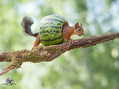 red squirrel on an branch in a watermelon (Geert Weggen) Tags: agriculture animal backgrounds closeup colorimage crop cultivated cute dirt environment environmentalconservation environmentaldamage environmentalissues food freshness gardening global greenhouse growth harvesting healthyeating horizontal humor lifestyles mammal nature newlife nopeople organic outdoors photography planetspace planetearth plant pollution red rodent seed socialissues springtime squirrel summer vegetable garden watermelon tree branch geert weggen jämtland bispgården sweden ragunda