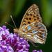 Issoria lathonia (LINNAEUS, 1758) - Kleiner Perlmuttfalter - 20180714 - P1120336