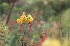 Césalpinie de Gillies (Dakysto94) Tags: nature macro proxi proxy proxiphoto fleur flower