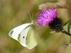 Small White Butterfly (LouisaHocking) Tags: druidston haven west wales nature wild wildlife minibeast insect butterfly small white