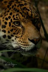 Chincha (yadrad) Tags: jaguar carnivore bigcats dartmoorzoo dartmoorzoologicalpark cat ngc